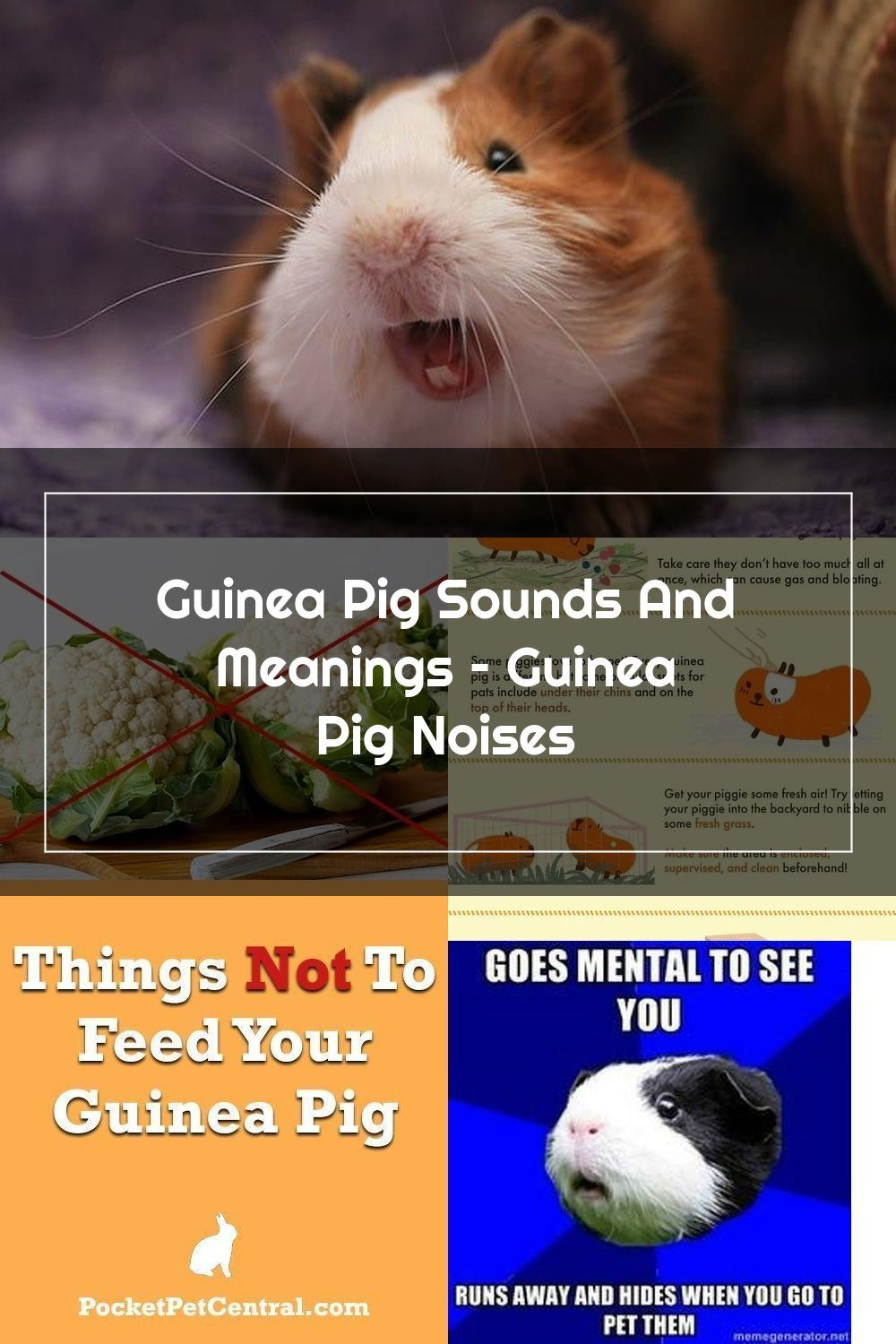 Pin Sa Guinea Pig Care