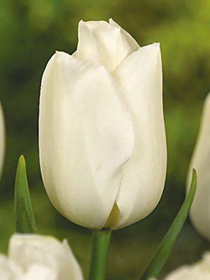 Тюльпаны Триумф Bolroyal Silver Сільський вісник