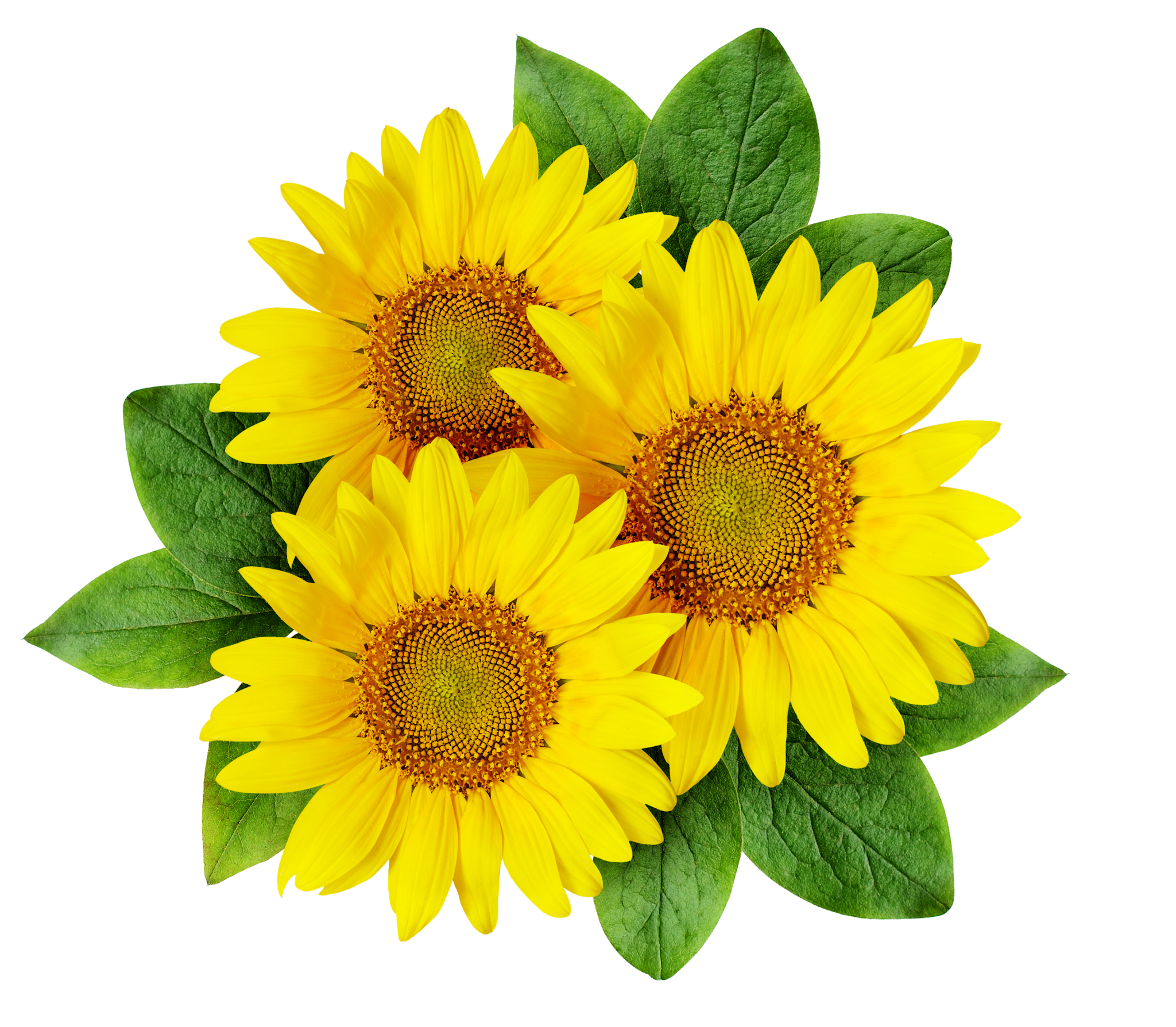 Common sunflower Drawing Illustration - Colourful ...