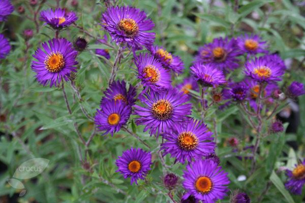 Asters Novae Angliae Violetta Hardy Perennials Plant Combinations Flowers Perennials