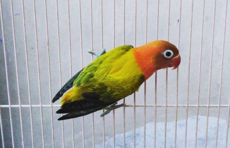 30 Jenis Lovebird Tercantik Lengkap Dengan Gambarnya Burung Burung Beo Warna