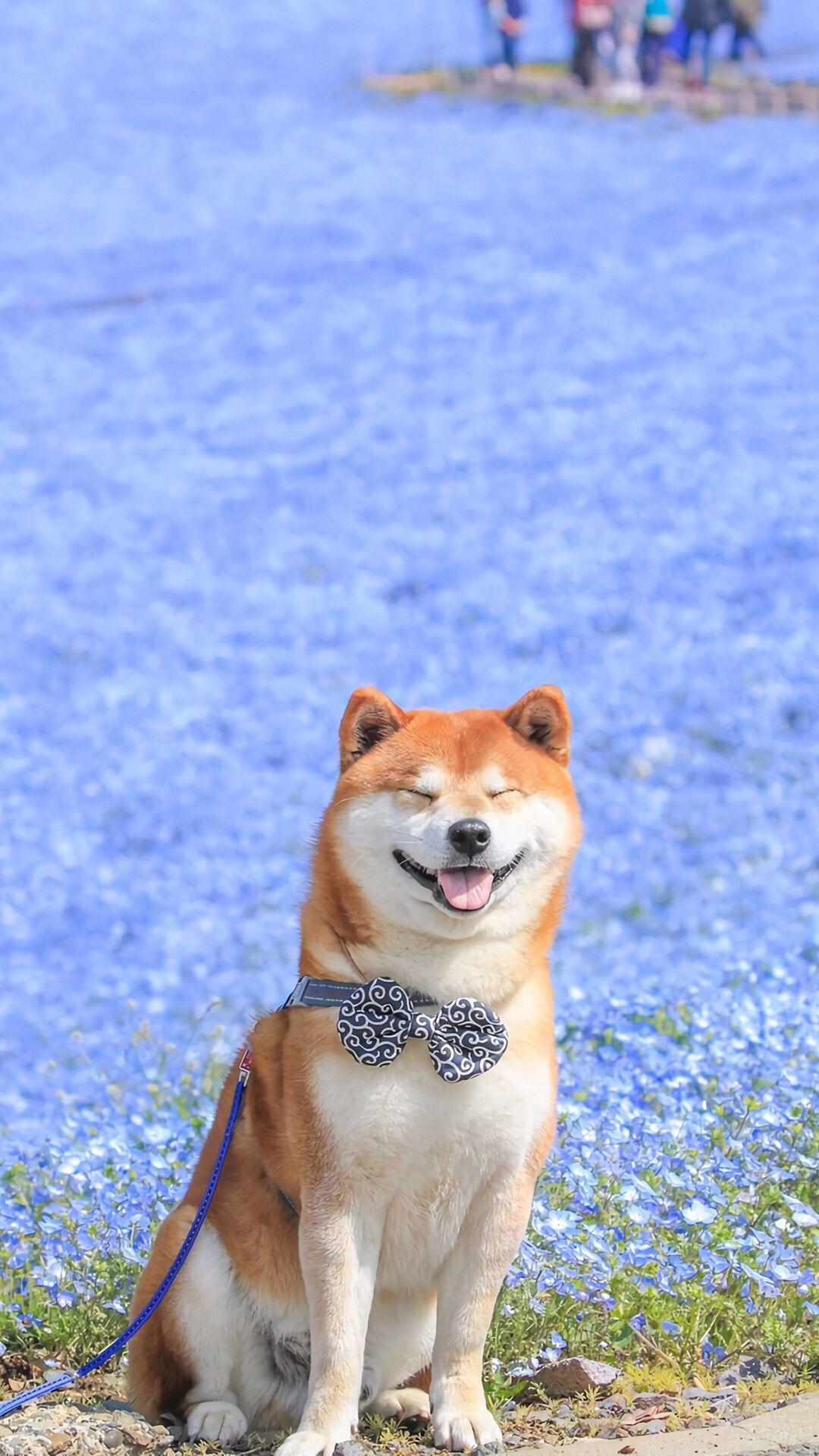 A Big Smile Funny Interesting Shiba Inu Cute Dogs Cute Animals Cute Pugs