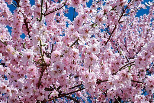 Flowers Show Bunga Sakura Bunga Sakura