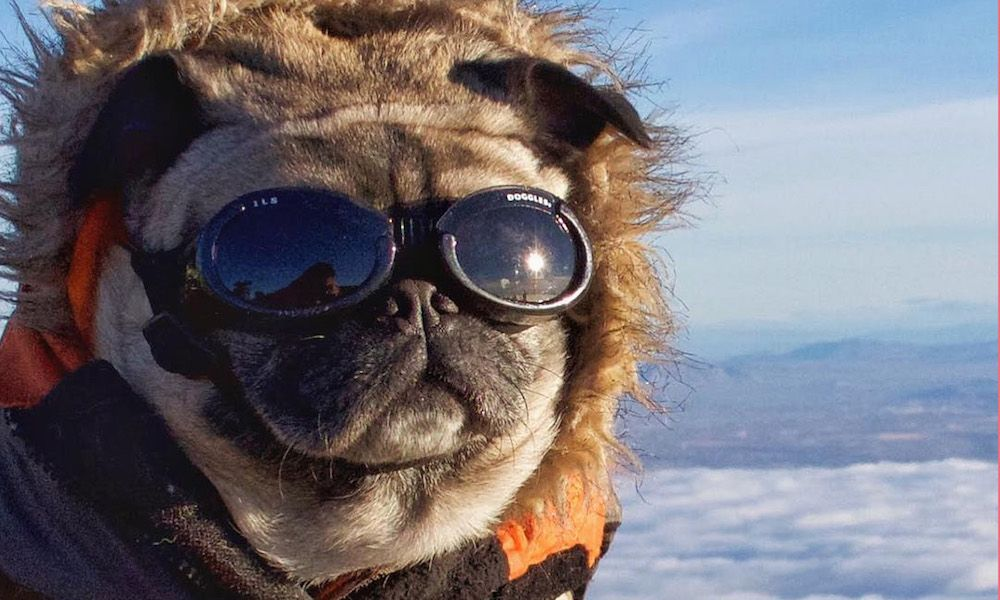 This Pug Hikes Mountains An Interview With Mack The Adventure Pug