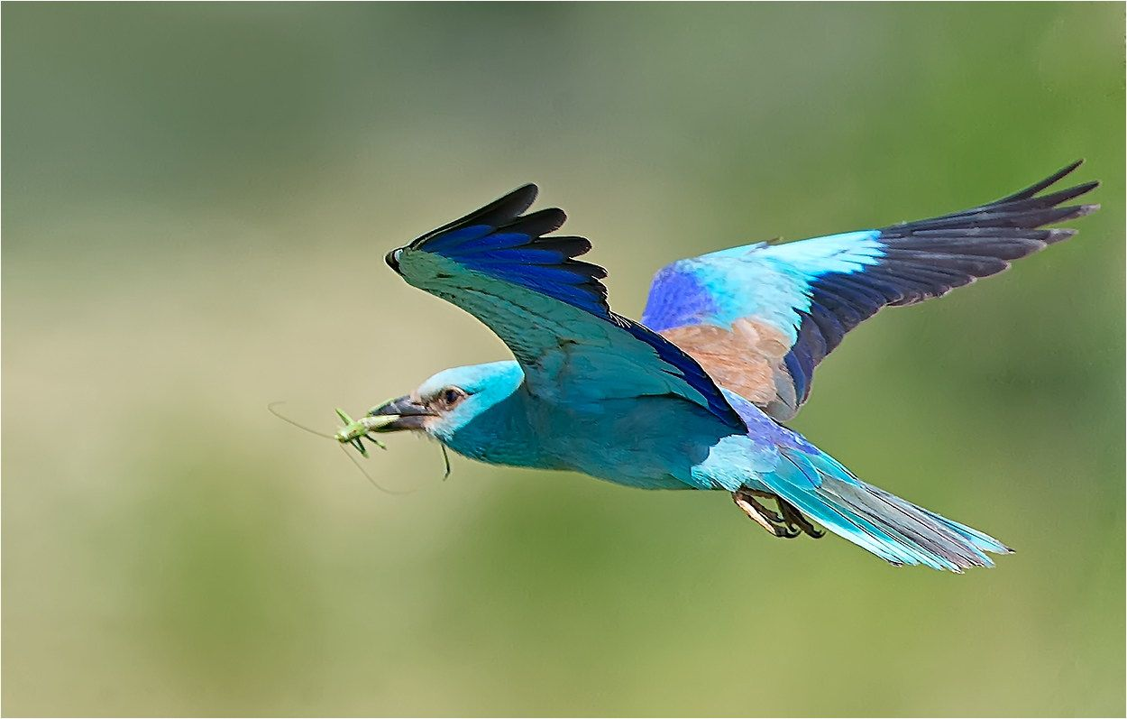 Wing Of A European Roller