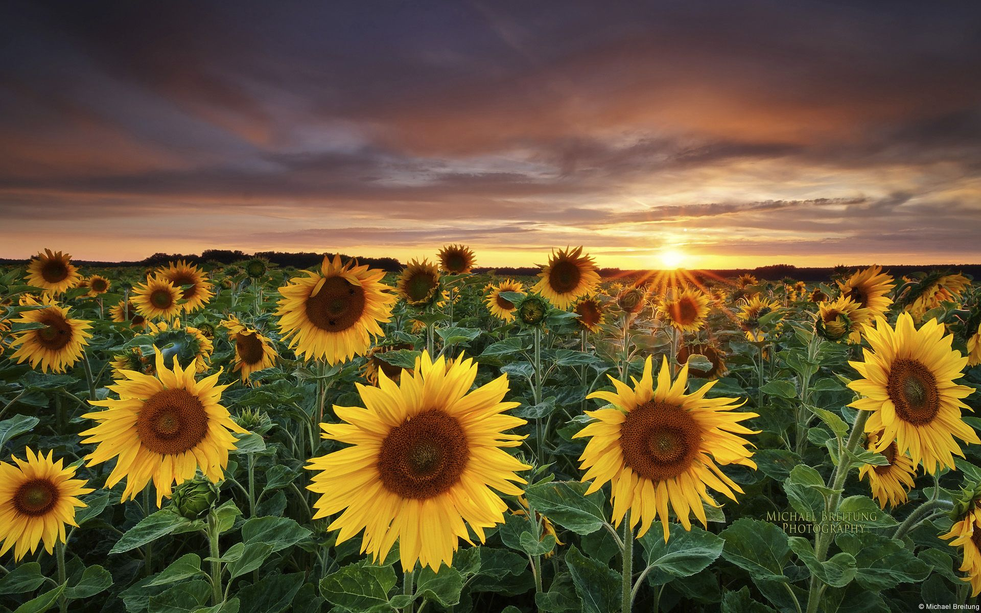 Sunflower Field Desktop Wallpaper