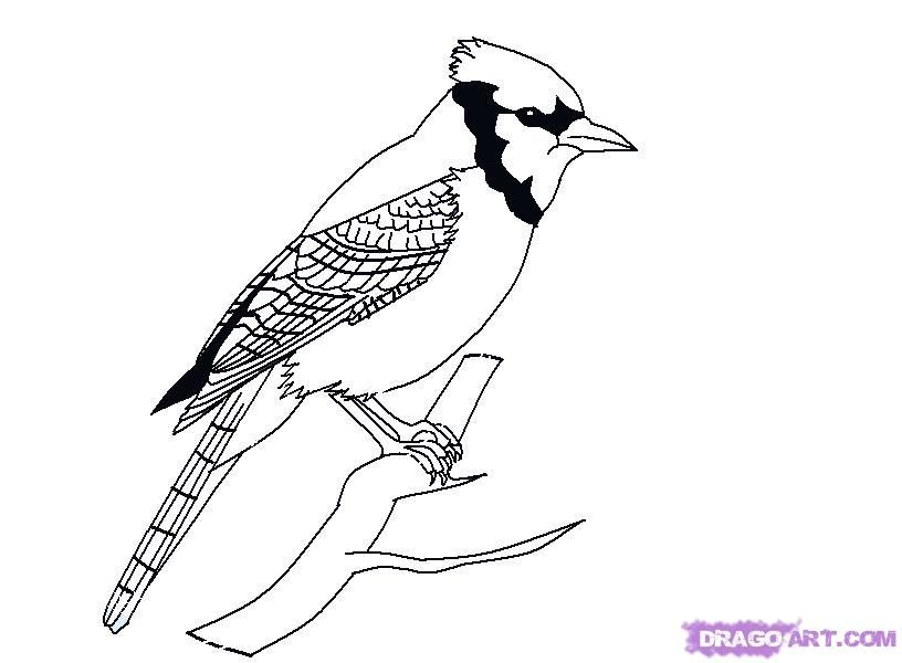 How To Draw A Bird How To Draw A Blue Jay Step 8 Jpg Bird