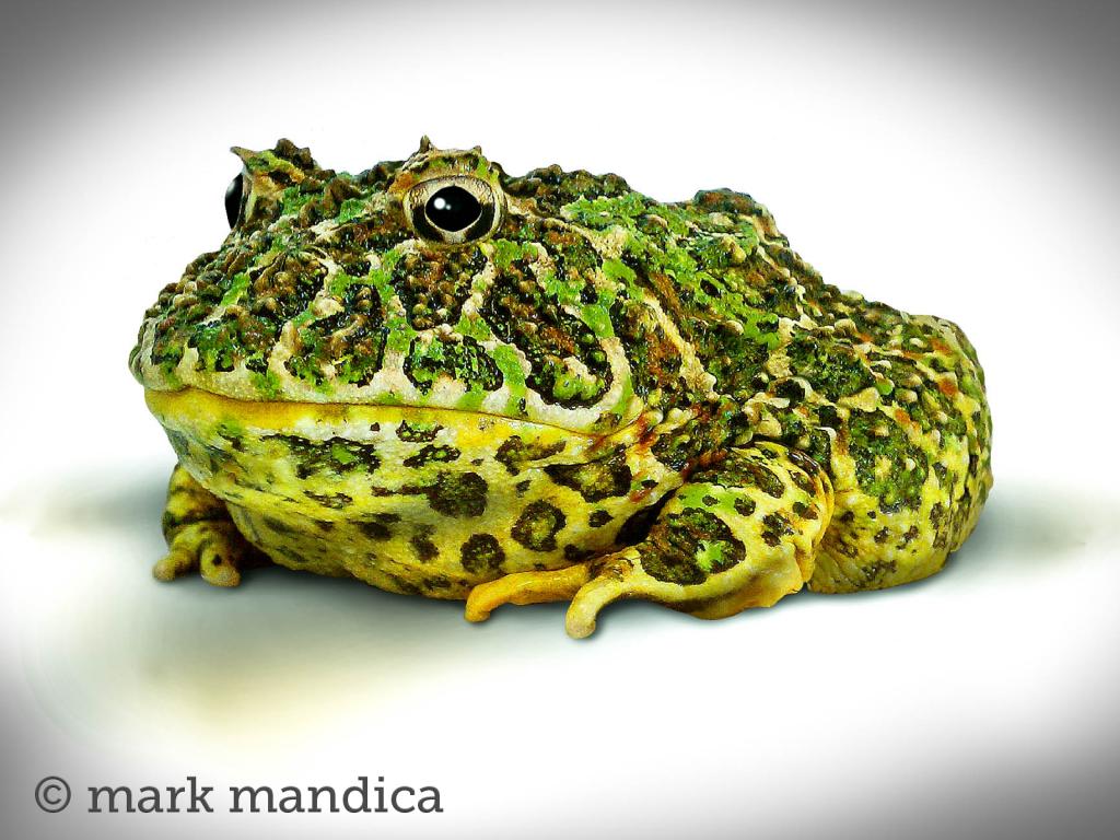 Argentine Horned Frog Ceratophrys ornata Photo Credit