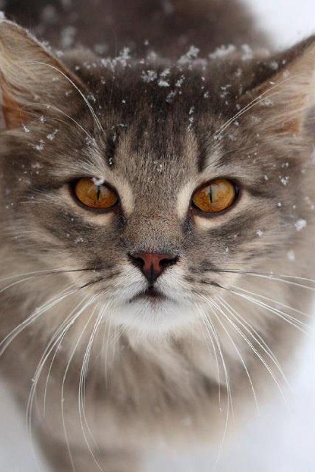 Amber Eyes Kittens Cutest Pretty Cats Cute Cats