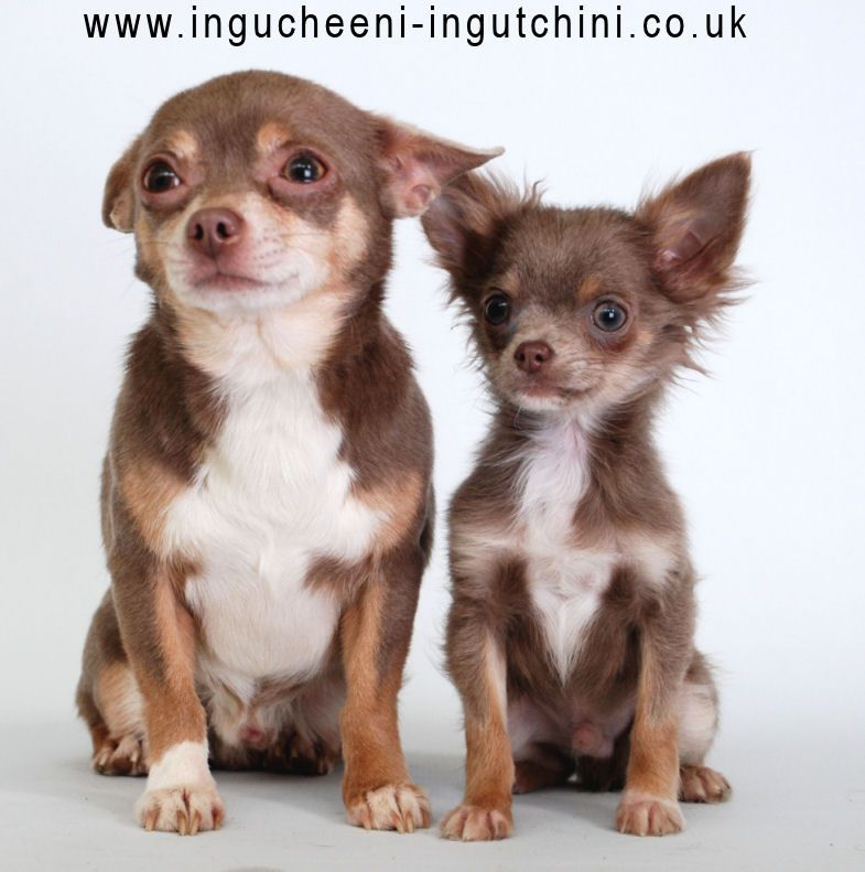 Zeusy Boy And Dylan Both Lilac Tan White Chihuahua Love