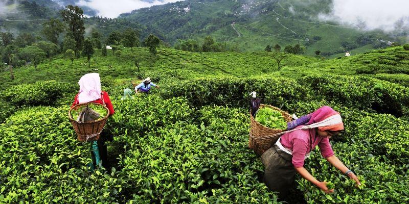 710e14eba5d7628e0bb6123b1f35a52d - List Of Tea Gardens In Darjeeling