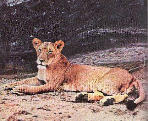 Elsa the Lioness from Born Free b. January 1956 – d. January 24, 1961