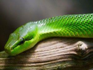 Serpiente verde sobre un tronco