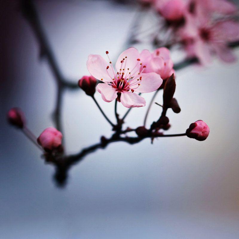 One Moment Of Serenity By Indigosummerr Deviantart Com On Deviantart Flower Branch Cherry Blossom Tree Book Cover Background
