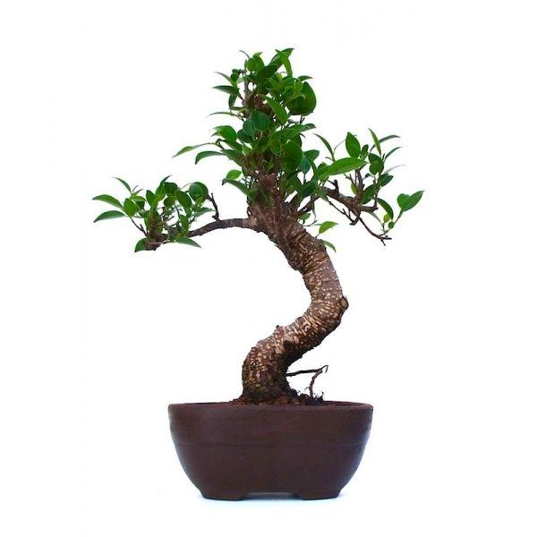 vente de bonsai ficus retusa 32 cm fr131203 sankaly bonsa boutique en ligne vente de bonsa. Black Bedroom Furniture Sets. Home Design Ideas