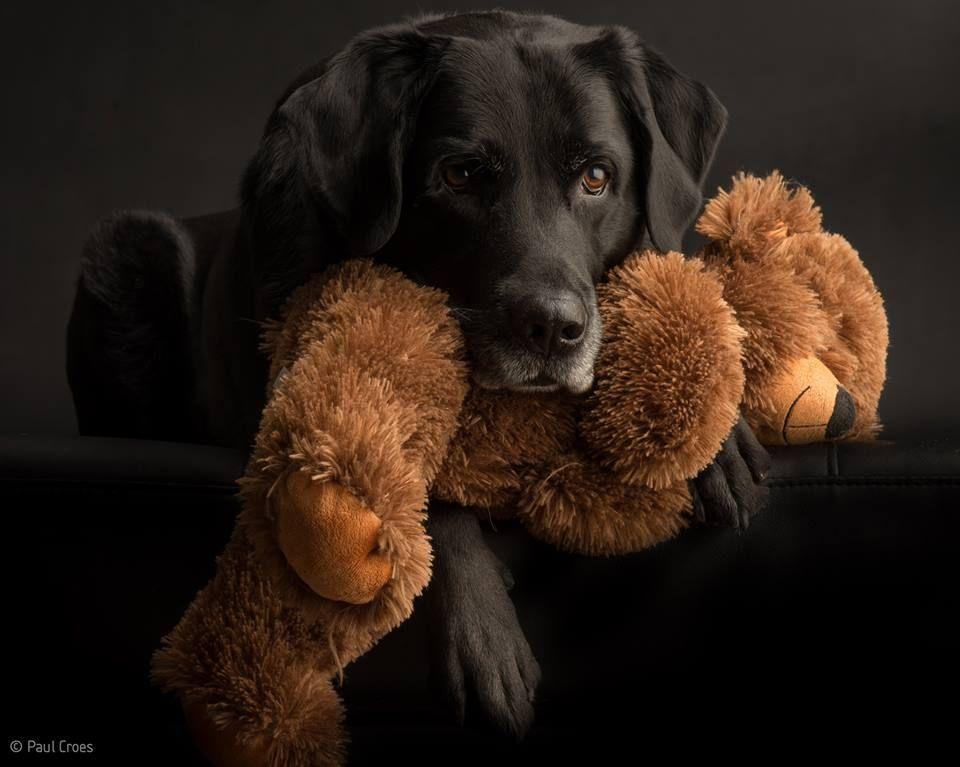 Rose Briar Photo Labrador Dog Love Labrador Retriever