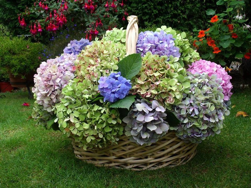 I See Beauty Around Me Beautiful Flowers Garden Hydrangea Colors Pretty Flowers
