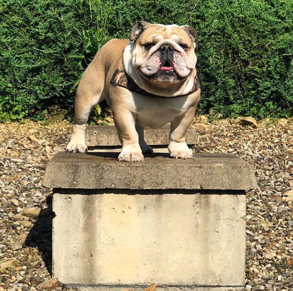 Imagen De Alecita En Buldogs Ingles Perros Bulldog Ingles Perros Bulldog Perros