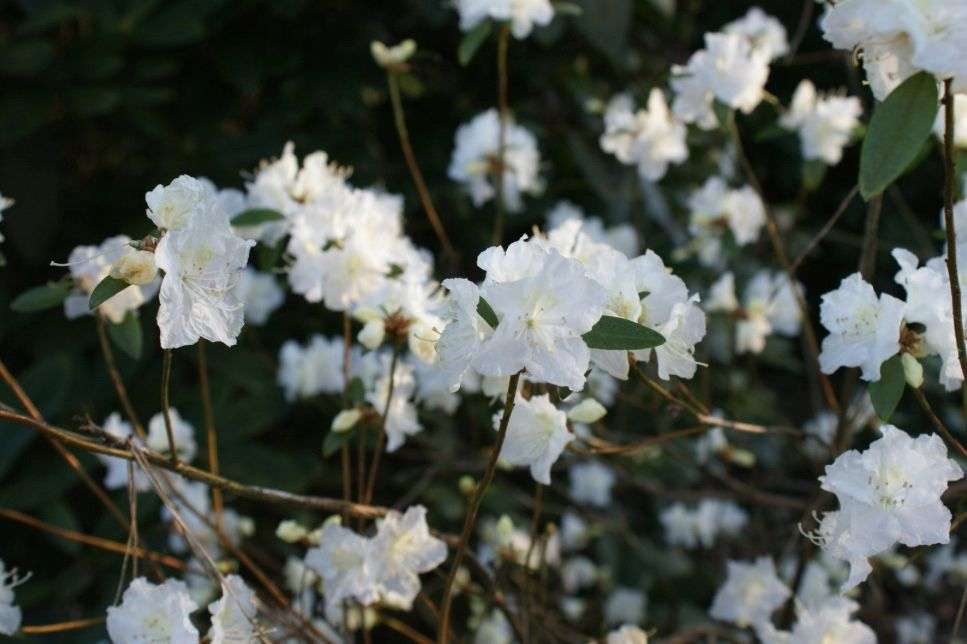 Rhododendron APRIL WHITE