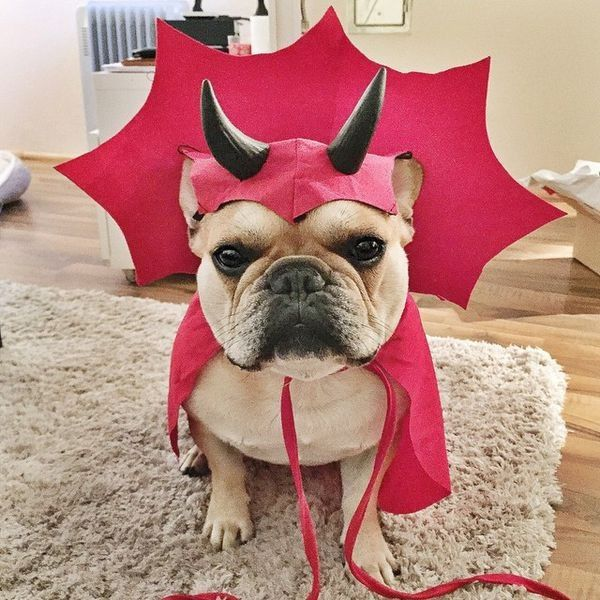 """""""...but I'm a Sweet Girl, why this costume?"""", French Bulldog would rather be an Angel than a Devil."""