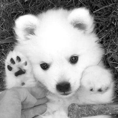 Top Samoyed Chubby Adorable Dog - 7111a27b9b66d0f7c0a7590167f531f3  Gallery_662325  .jpg