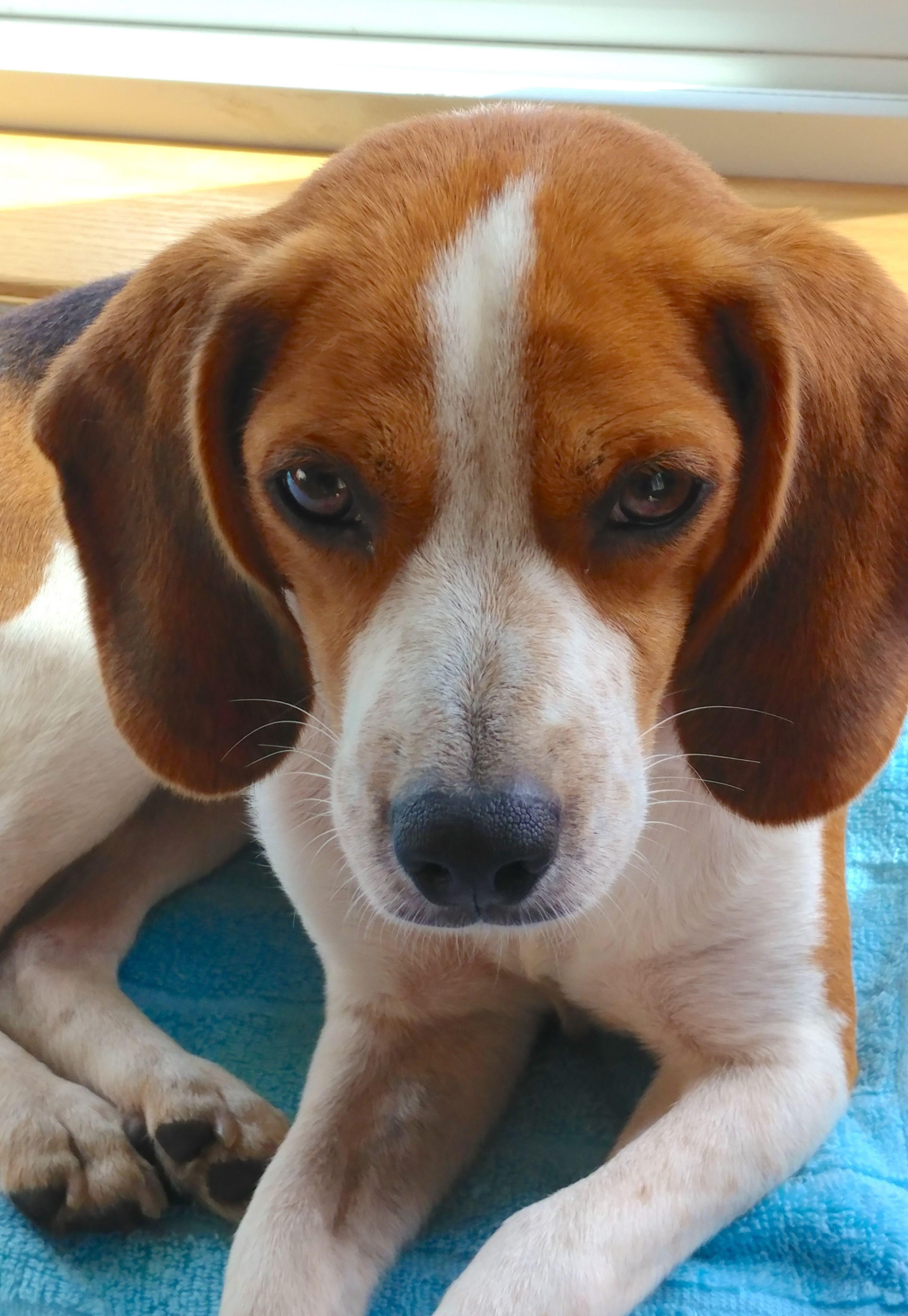 Beagle dog for Adoption in Mankato, MN. ADN635554 on