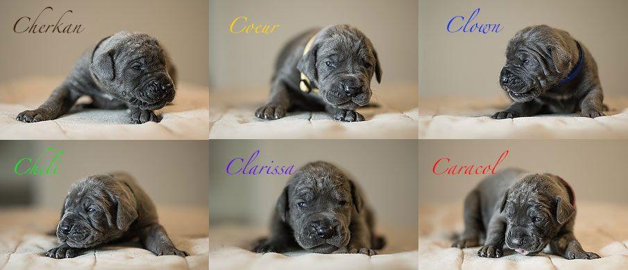C Wurf Duitse Doge