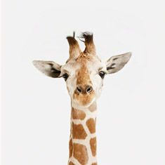 Baby Giraffe Close-up - The Animal Print Shop by Sharon Montrose