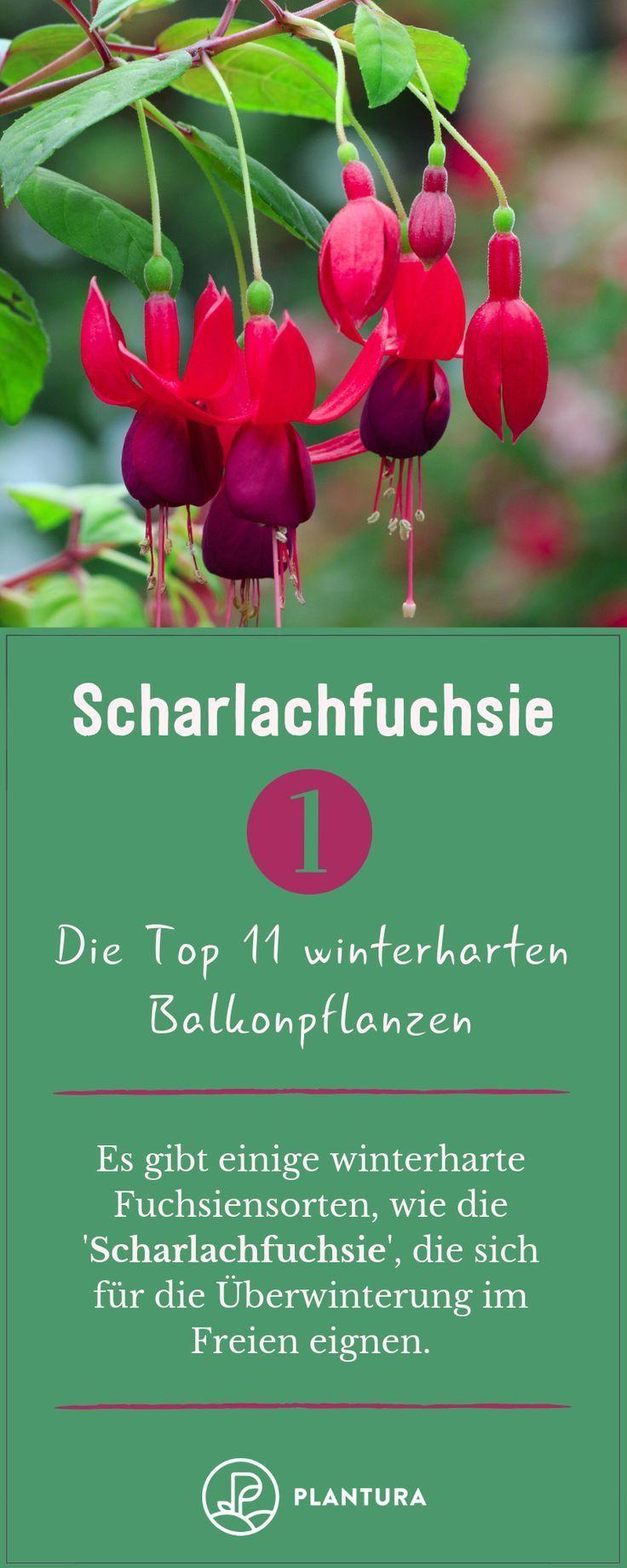 Winterharte Balkonpflanzen: Die Top 11 für Ihren Balkon - #Balkon #Balkonpflanz #kletterpflanzenwinterhart