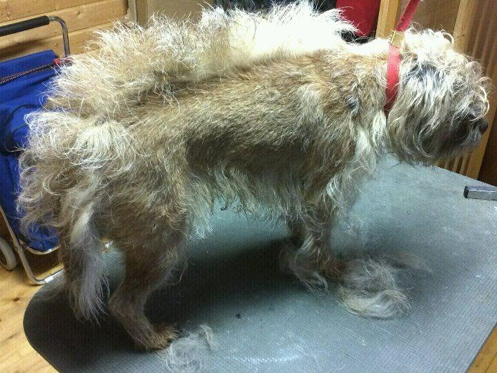 Border Terriers Health Grooming Border Terrier Brown Dog