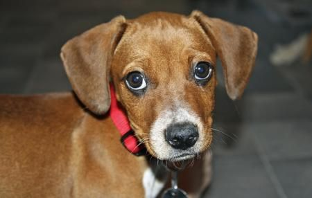 Roxie The Mixed Breed What A Cutie Beagle Mix Cute Puppy Names