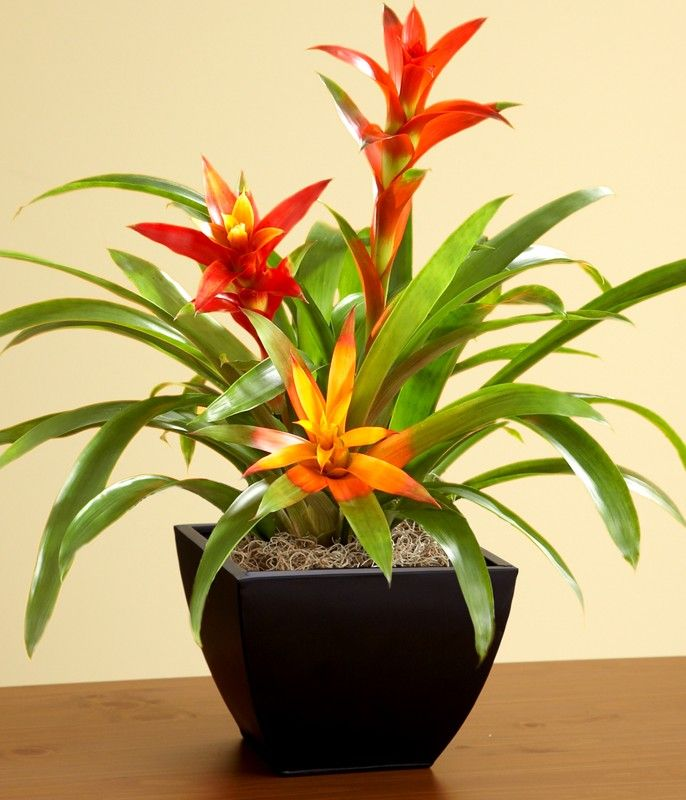 Pictures of bromeliads plants tropical bromeliad garden for Low maintenance potted plants indoor
