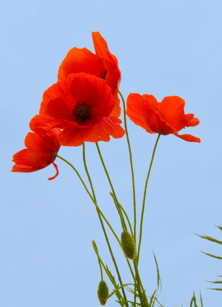 Beautiful Flowers The Flower Symbolism Ociated With Poppies