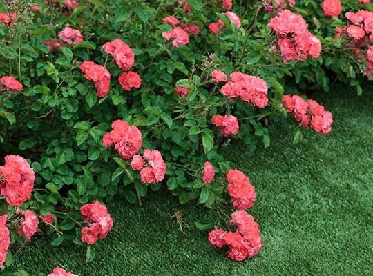 Drift Roses Offer Smaller Plants Great Blooms