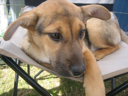 Beagle German Shep Mix This Sorta Looks Like Rosie B Except She
