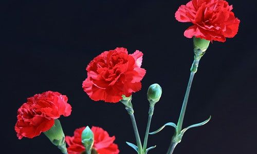 6 Fun Facts About The January Birth Flower Carnation Flower Carnations Red Carnation