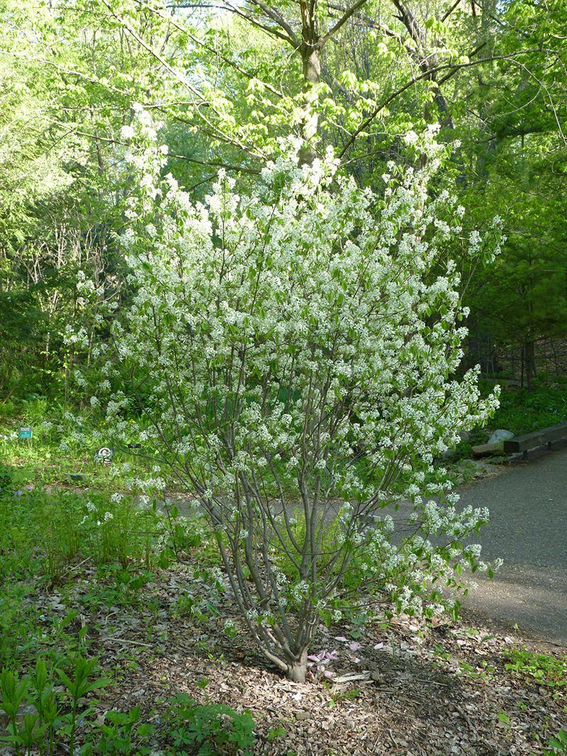Bush With White Flowers Matticelloont Yard Pinterest White