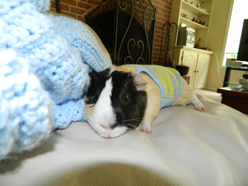 Guinea pig model: Numchucks.  Photo credit: ginnypants