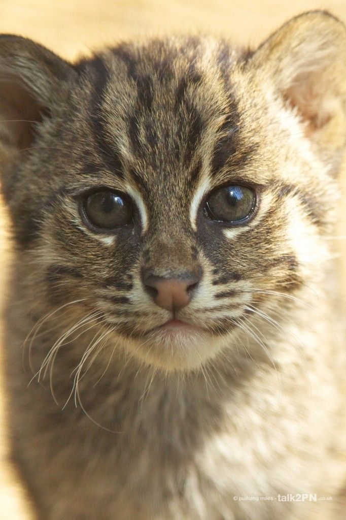 Fishing Cat Kitten closeup Rare cats, Small wild cats