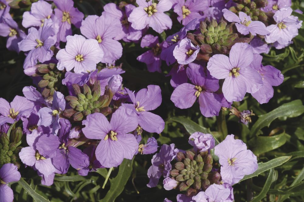 Details about Flower Erysimum linifolium Little Kiss