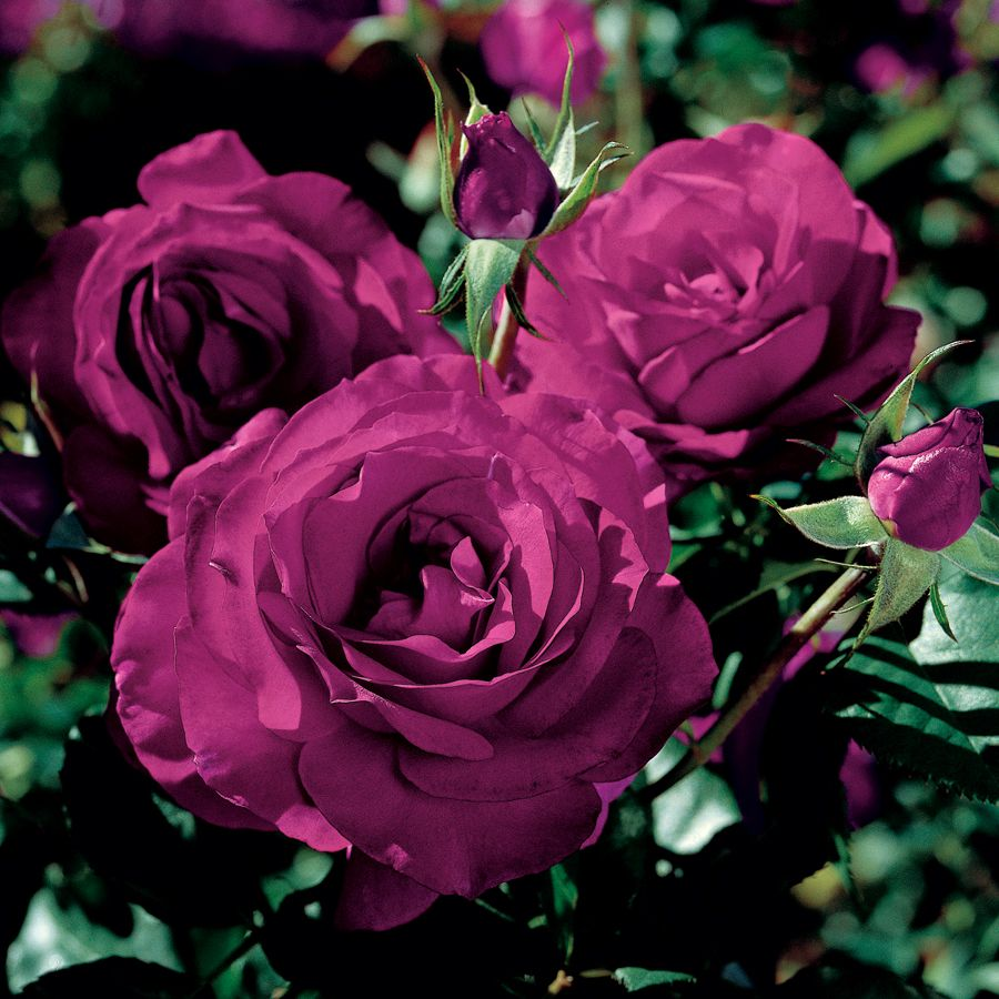 Wild Blue Yonder Grandiflora Rose Truly Are The Most Beautiful Color Of Roses That I Have Seen In Oh So Purple Roses Hybrid Tea Roses Dark Purple Roses
