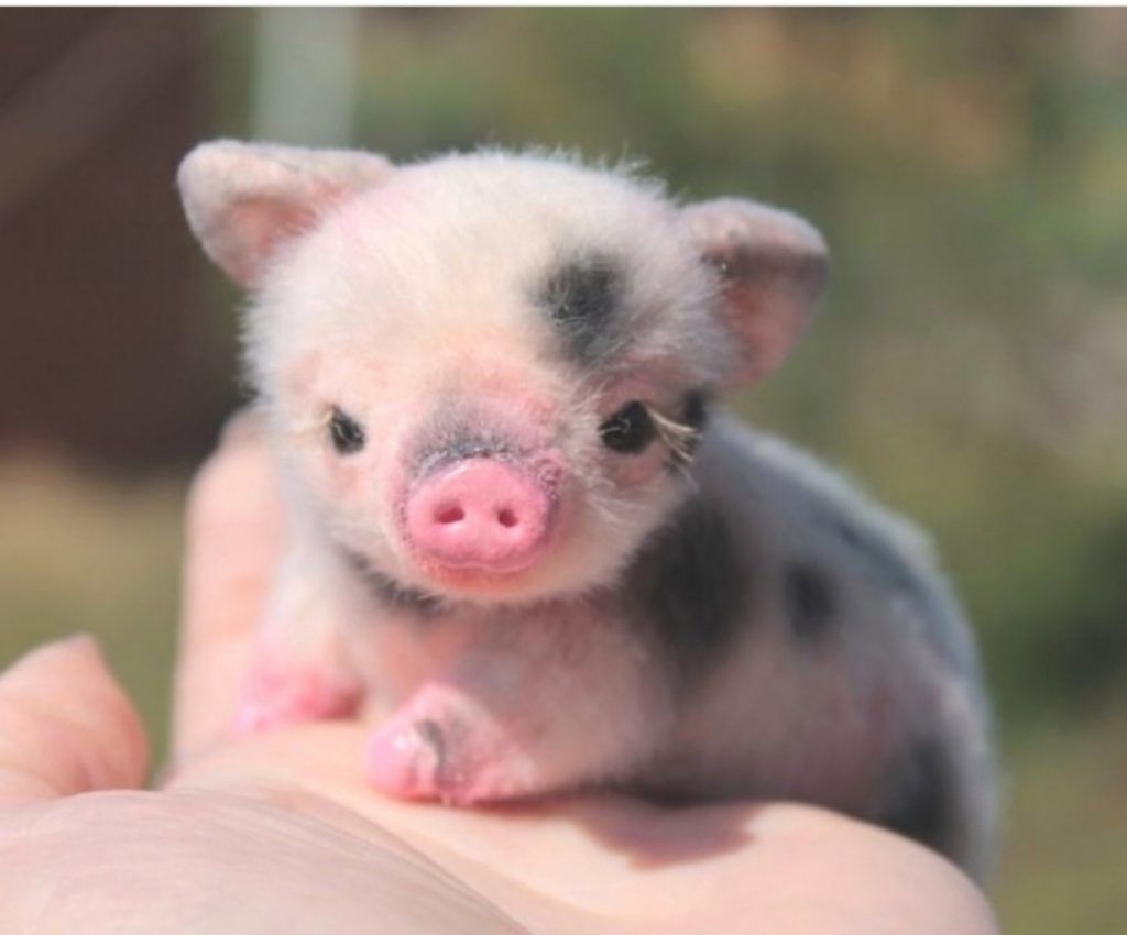 Pin By Amelia Leon On Cuteness Cute Baby Pigs Cute Piglets