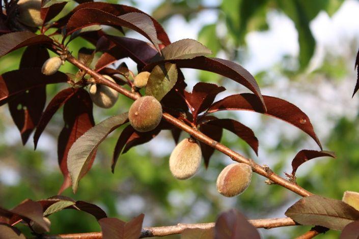 "Prunus persica ""Indian Peach"" - Google Search oak root fungus reisistant"