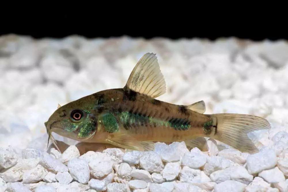 19 Most Popular Types Of Catfish Species Habitat Pictures In 2020 Fish Tank Tropical Fish Aquarium Fish