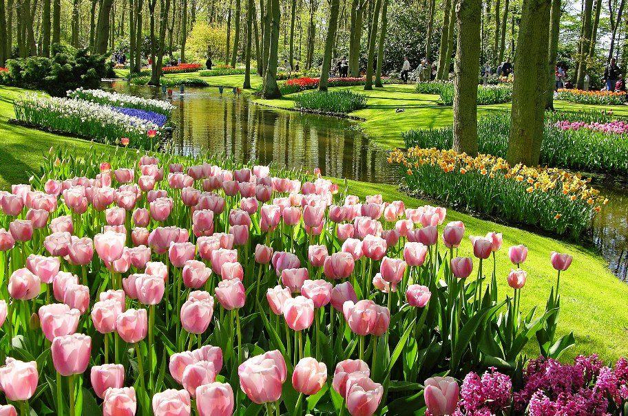 Gambar Bunga Tulip Dari Belanda Bunga Tulip Kebun Bunga Taman Indah