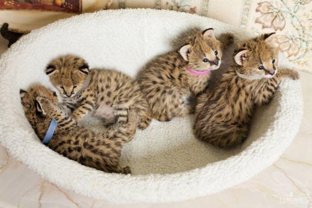 Margay Kittens For Sale Serval Savannah Ocelot Margay