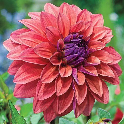 American Dawn Dahlia Summer Bulbs Shop Online Breck S Bulb Flowers Bonsai Flower Flower Seeds