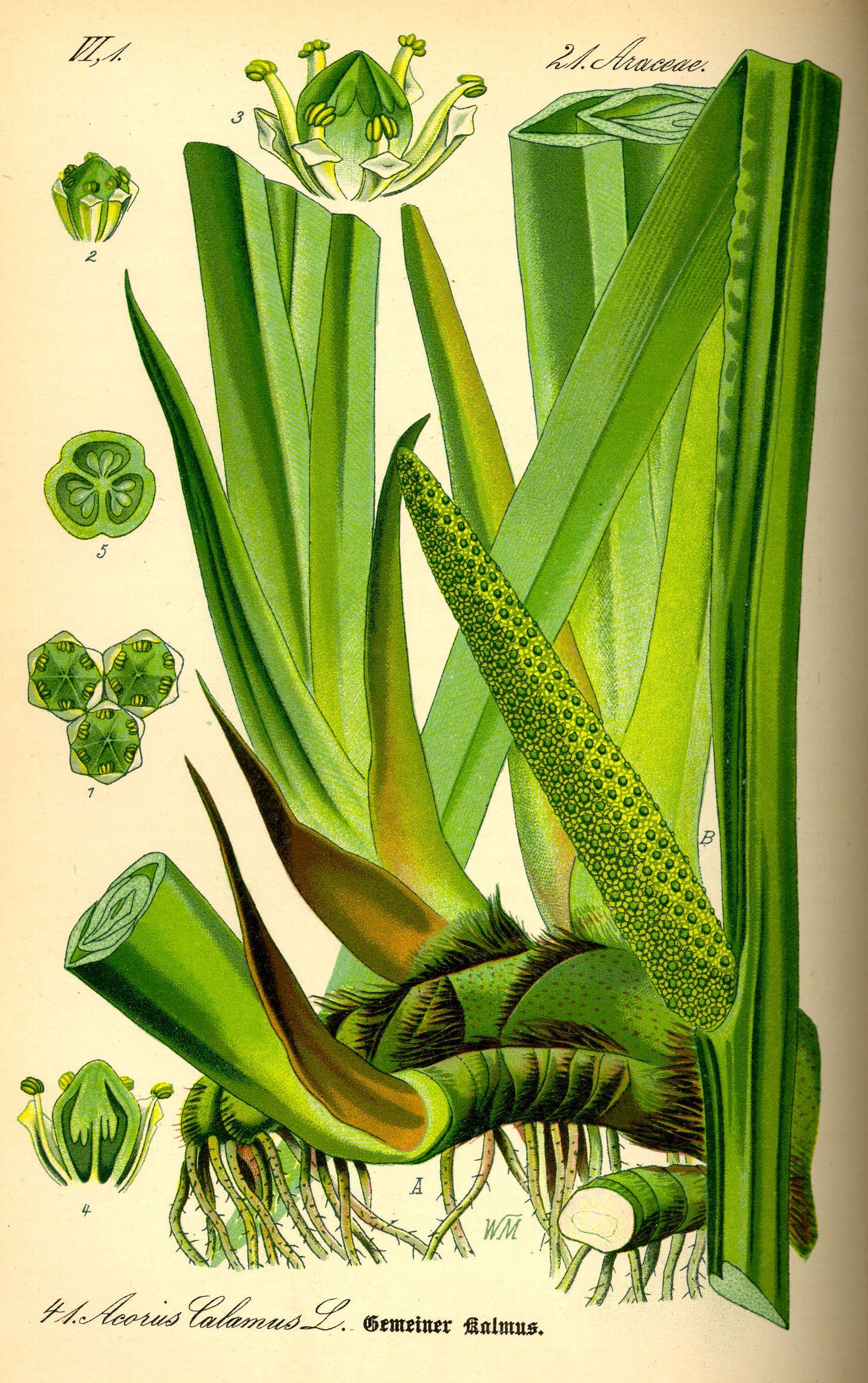 Acorus Calamus Root Sweet Flag Benefits And Dangers Acorus Botanical Illustration Wild Plants