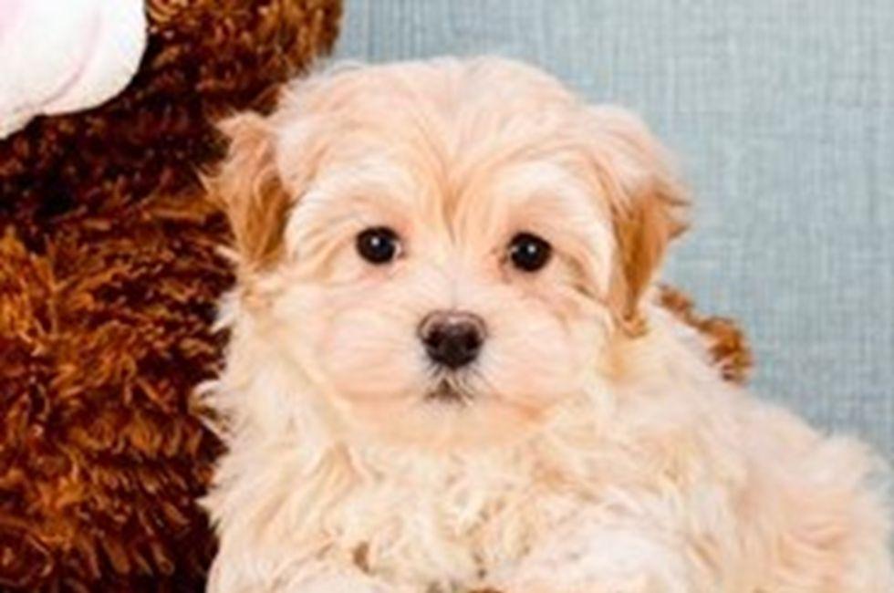 Malti poo puppies for sale ohio maltipoo pups online