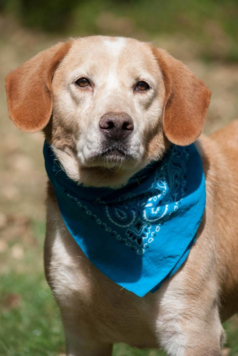 Meet Lola, a Petfinder adoptable Labrador Retriever Dog | Lewisville, IN | Lola is a 5 year old 45 lb. queen. Well she thinks so anyways. And like all royalty she would...